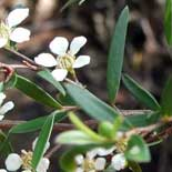 RevuCell Tea Tree for hair growth